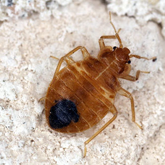 Bed bug Cimex lectularius parasitic insects of the cimicid famil